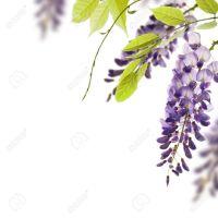 13197763-glicinas-flores-hojas-de-borde-verde-para-un-ngulo-de-la-p-gina-sobre-un-elemento-de-fondo-decorativ-Foto-de-archivo